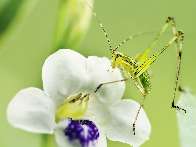 Фотографии Насекомые Кузнечики животное Крупным планом насекомое вблизи Животные