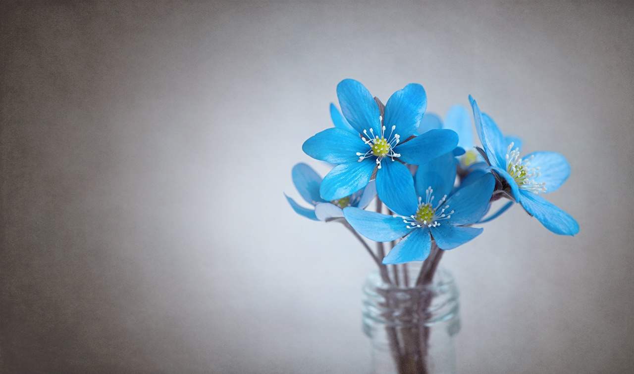 Фото Hepatica голубые цветок Серый фон Крупным планом голубых Голубой голубая Цветы вблизи сером фоне