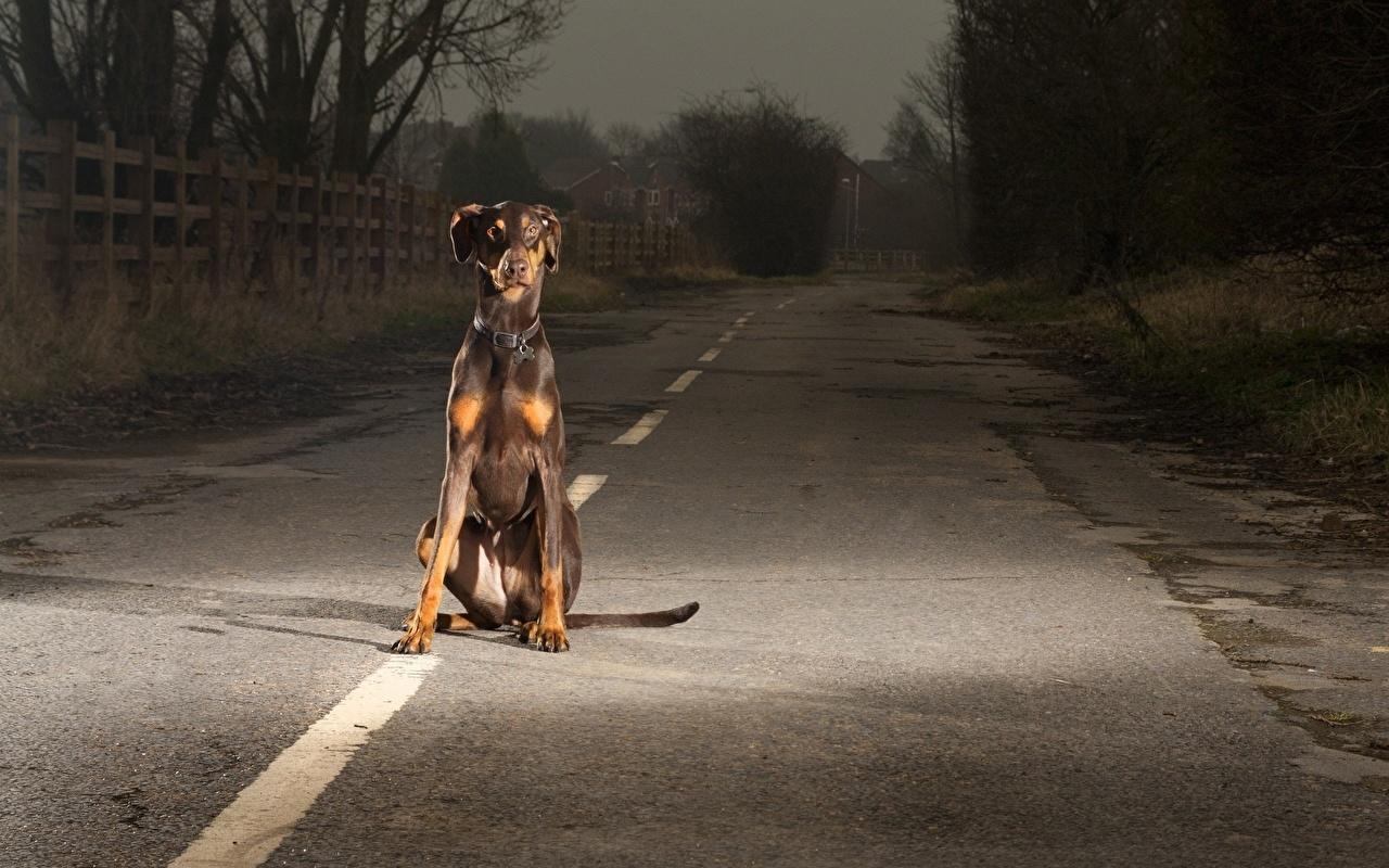 Картинки Доберман собака Дороги Асфальт Животные доберманы Собаки асфальта животное