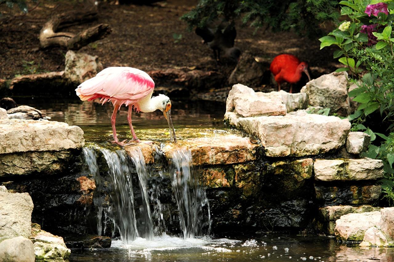 Фотографии Птицы Roseate spoonbill ручеек розовая Камень Животные птица Ручей Розовый розовые розовых Камни животное