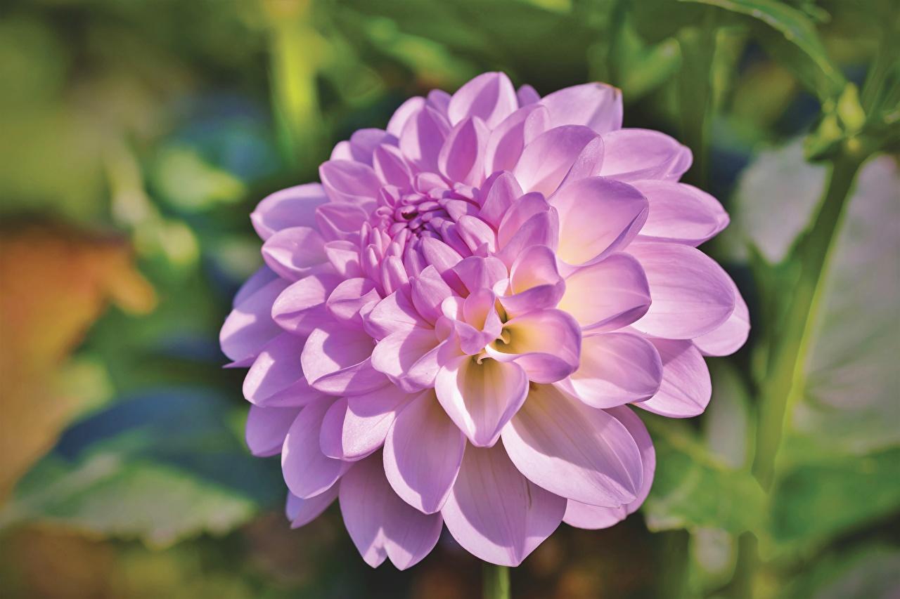 Картинка Размытый фон розовые Цветы Георгины Крупным планом боке розовых Розовый розовая цветок вблизи