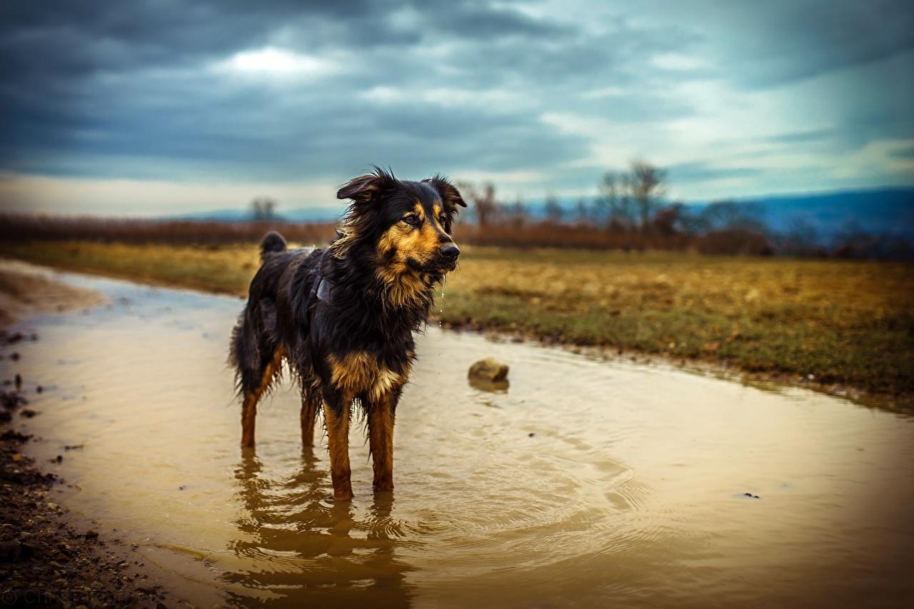 Картинка Австралийская овчарка Собаки Лужа Мокрые Животные