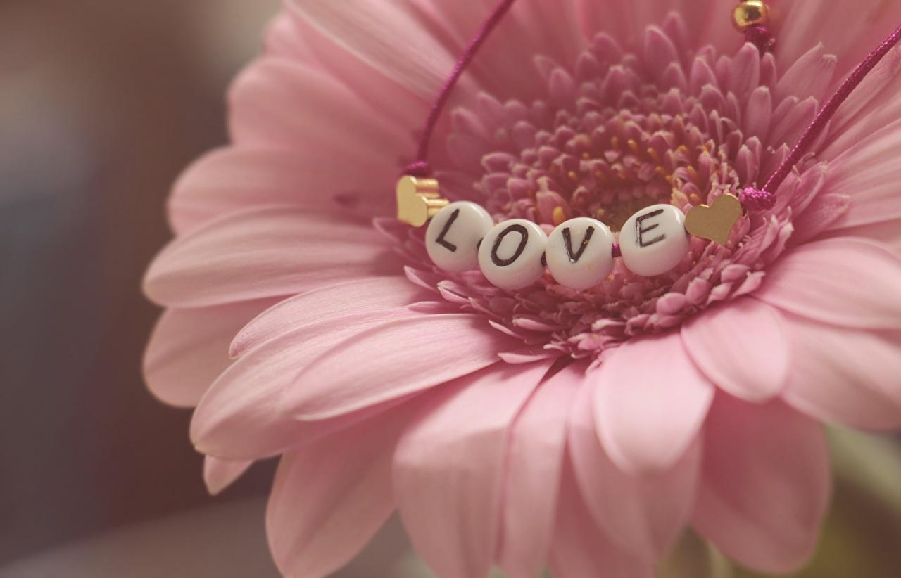 Картинка Любовь Герберы Розовый Лепестки Цветы Крупным планом вблизи