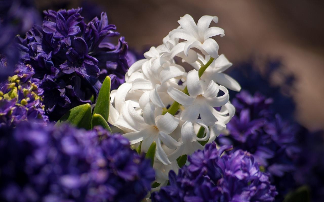 Картинки Цветы Гиацинты Крупным планом цветок вблизи