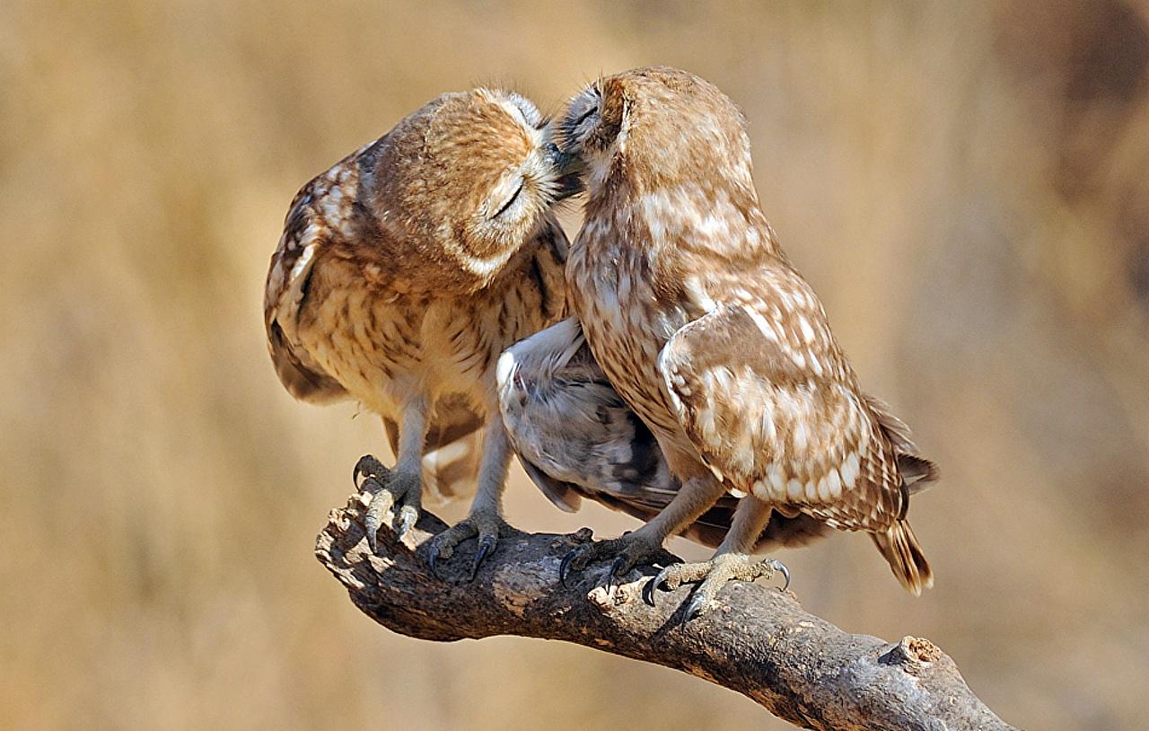 Фотографии птица Совообразные Животные сова совы Птицы животное