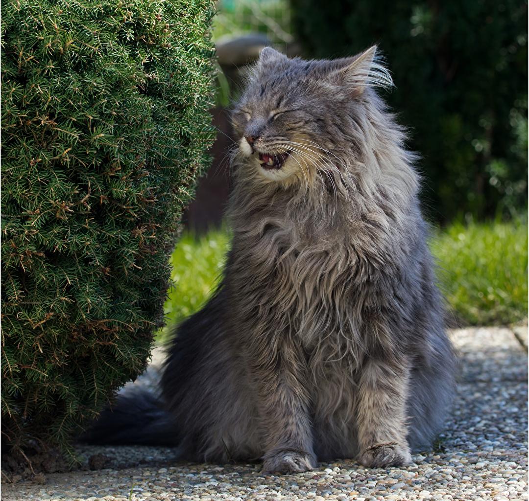 Обои для рабочего стола кот серая Пушистый Животные коты кошка Кошки Серый серые пушистая пушистые животное