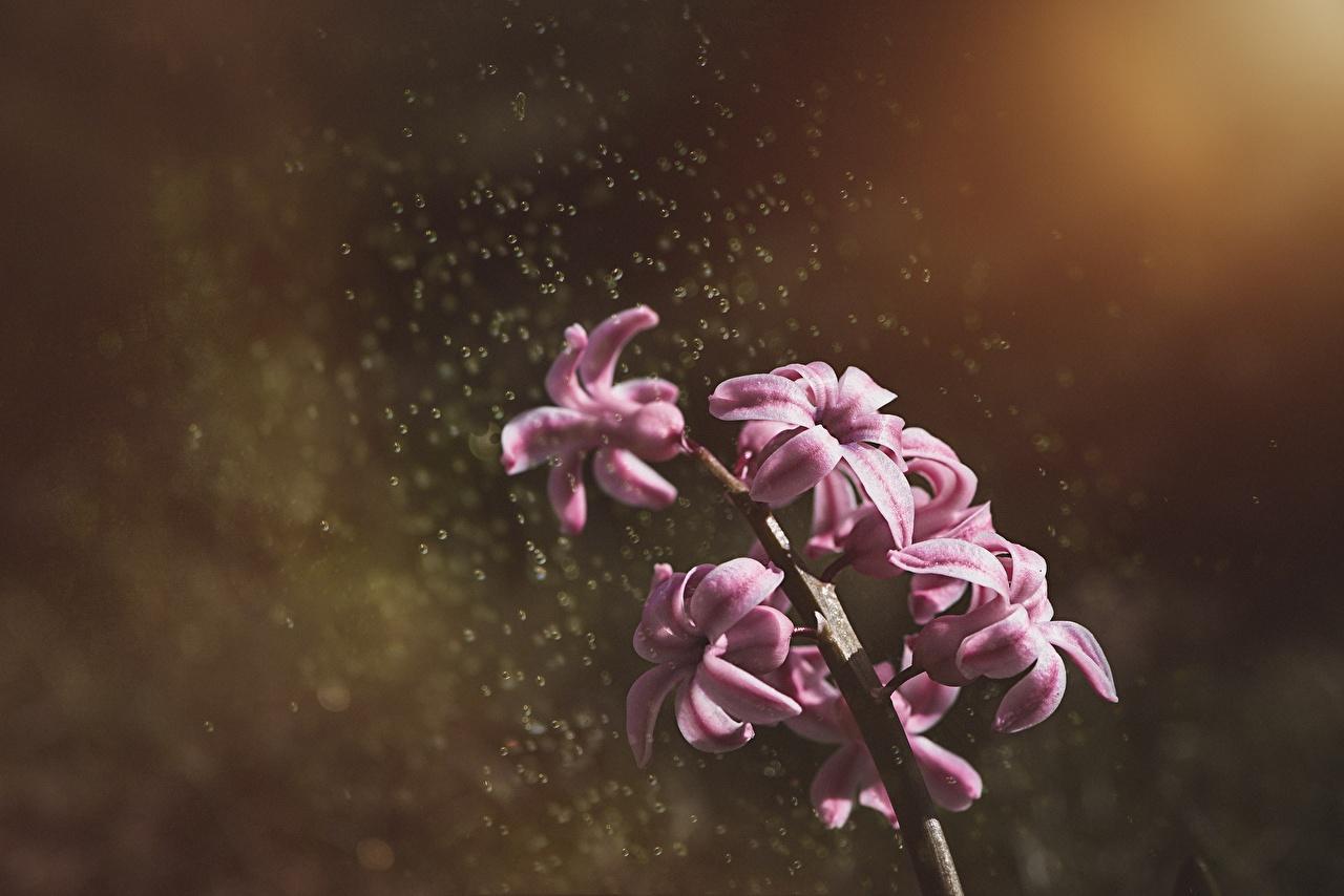 Фото боке Розовый Цветы Гиацинты вблизи Размытый фон розовая розовые розовых цветок Крупным планом