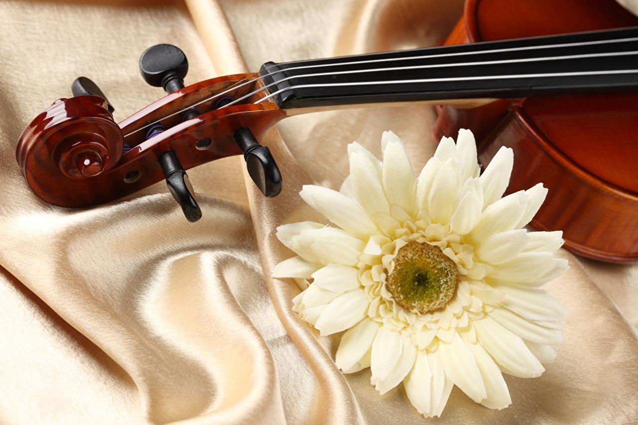 Фотография скрипка fabric satin гербера Цветы Крупным планом Скрипки Герберы цветок вблизи