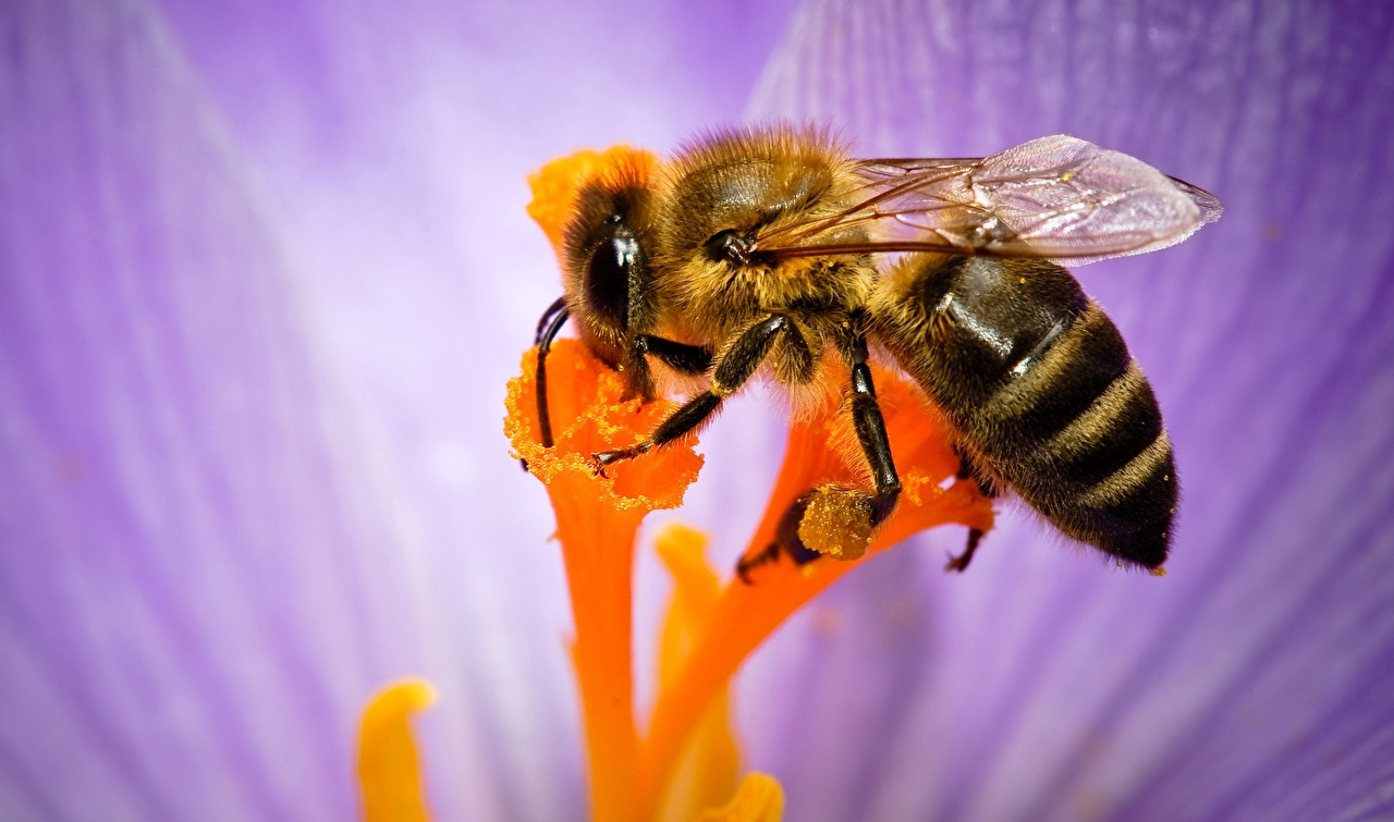 Картинки Пчелы насекомое вблизи животное Насекомые Животные Крупным планом