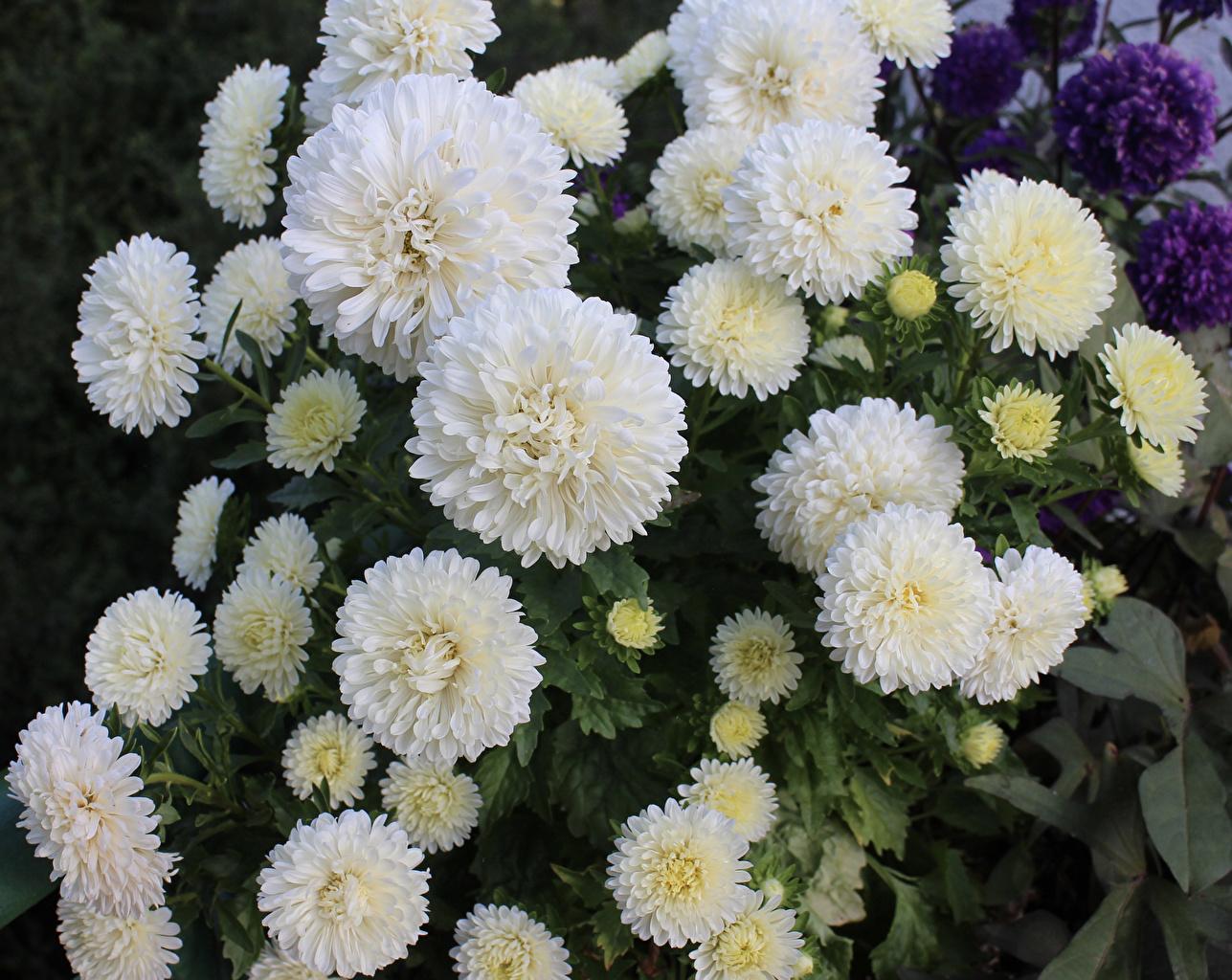 Обои для рабочего стола белая Астры цветок Много белых белые Белый Цветы