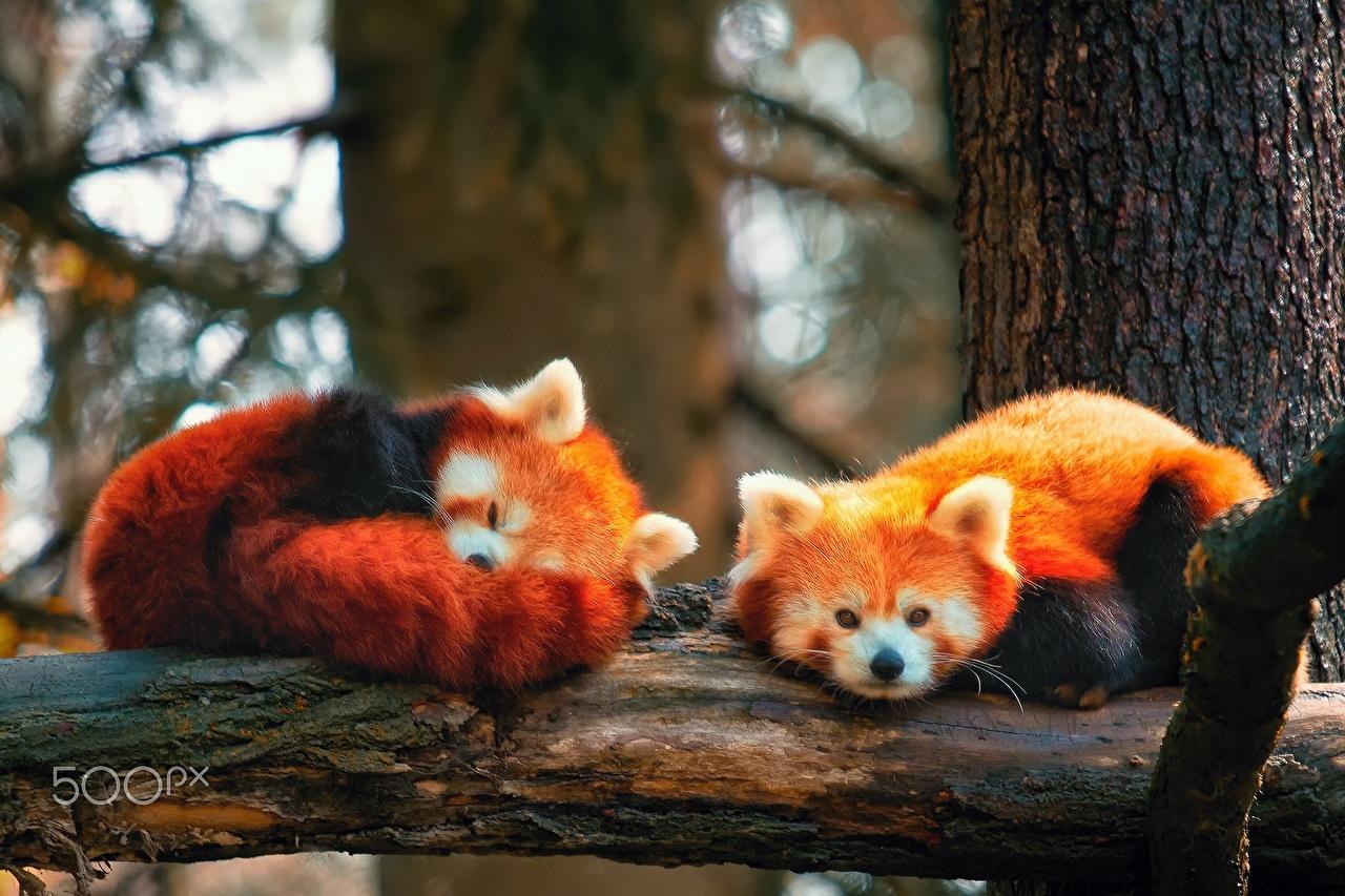 Фото Малая панда Двое спят животное 2 два две сон Спит вдвоем спящий Животные