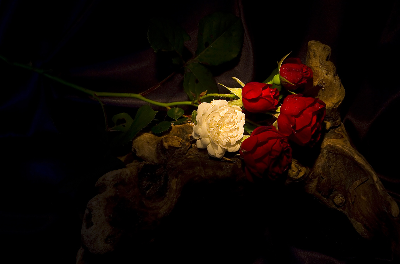 Фотографии Розы Цветы Крупным планом вблизи