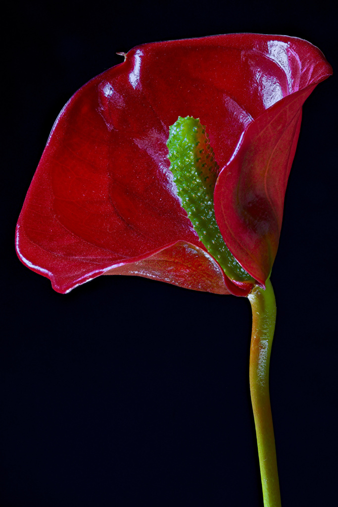 Обои для рабочего стола красные Цветы Антуриум на черном фоне Крупным планом  для мобильного телефона красная Красный красных цветок вблизи Черный фон