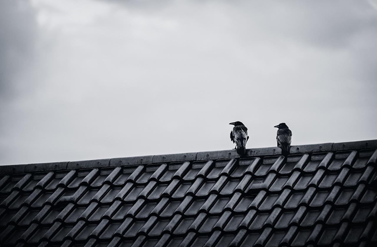 Фото птица Вороны Двое краши Животные Птицы ворона 2 две два Крыша крыше вдвоем животное