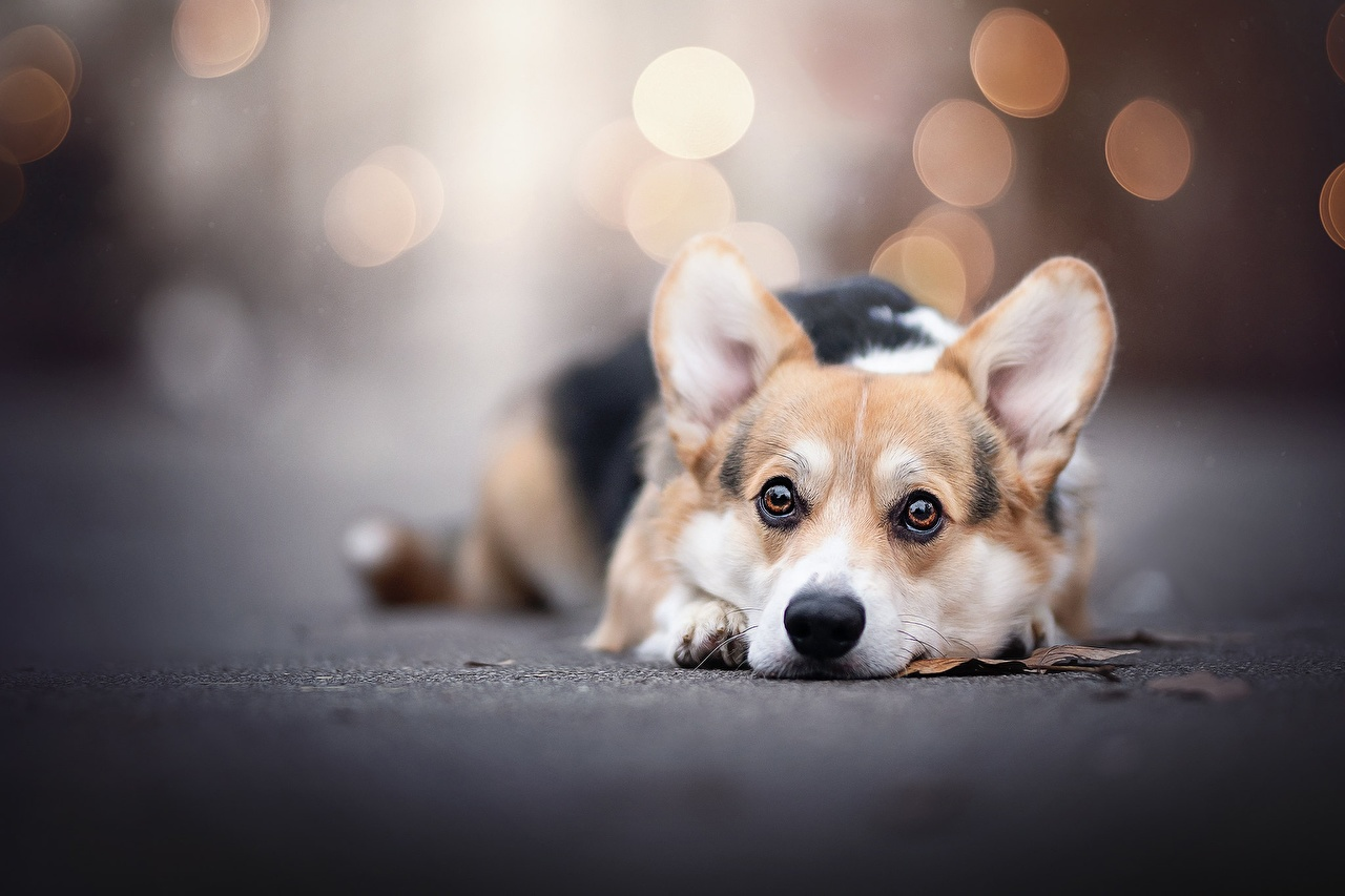Фотографии Вельш-корги собака лежа боке Взгляд Животные Собаки Лежит лежат лежачие Размытый фон смотрит смотрят животное