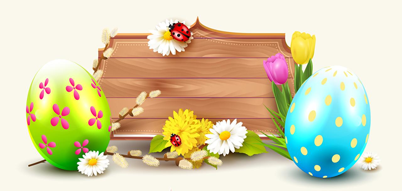 Картинки Пасха Божьи коровки яиц тюльпан Маргаритка Шаблон поздравительной открытки белом фоне яйцо Яйца яйцами Тюльпаны Белый фон белым фоном