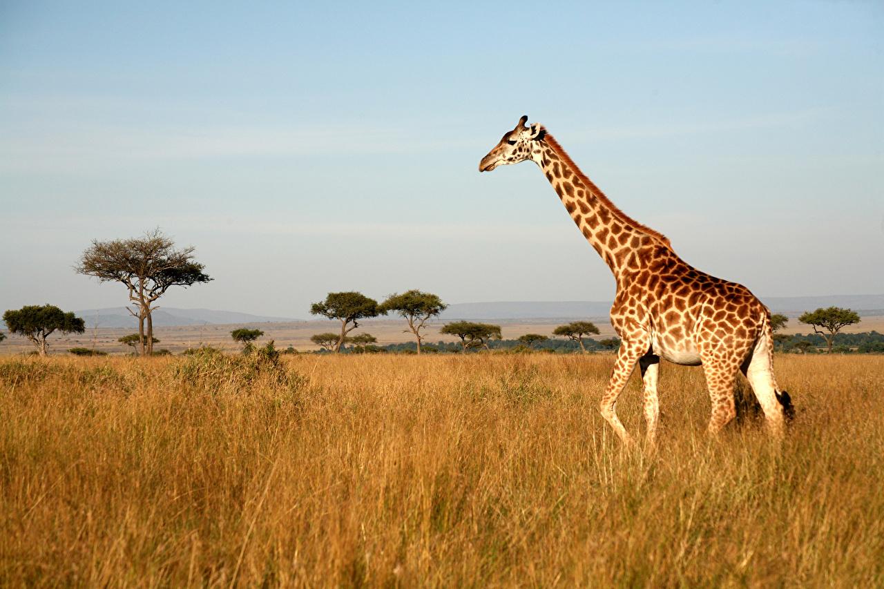 Картинки Жирафы Трава животное жираф траве Животные