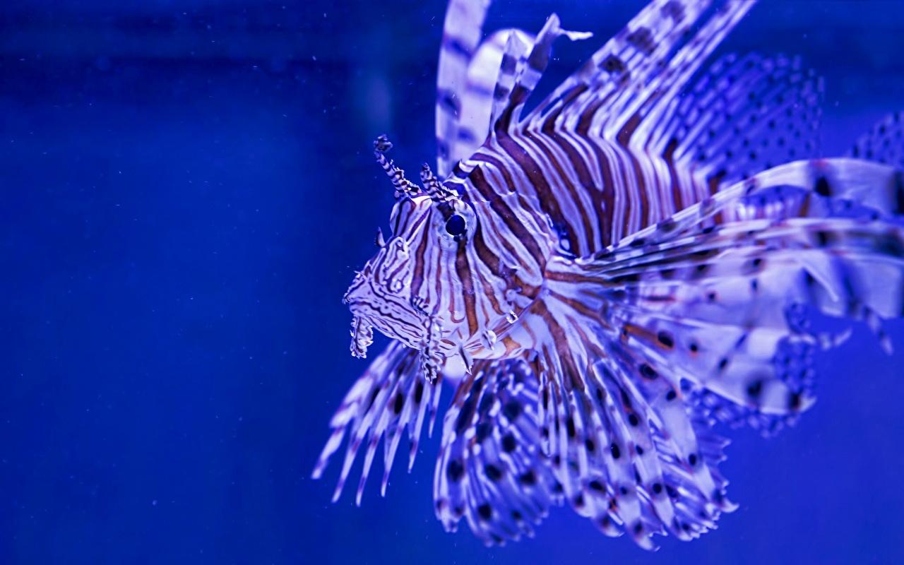 Обои для рабочего стола Крылатки Рыбы Подводный мир животное крылатка Животные