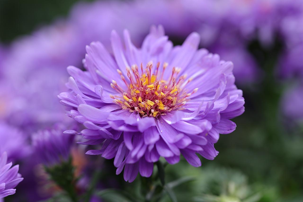 Фотография боке Фиолетовый Астры цветок Крупным планом Размытый фон фиолетовая фиолетовые фиолетовых Цветы вблизи