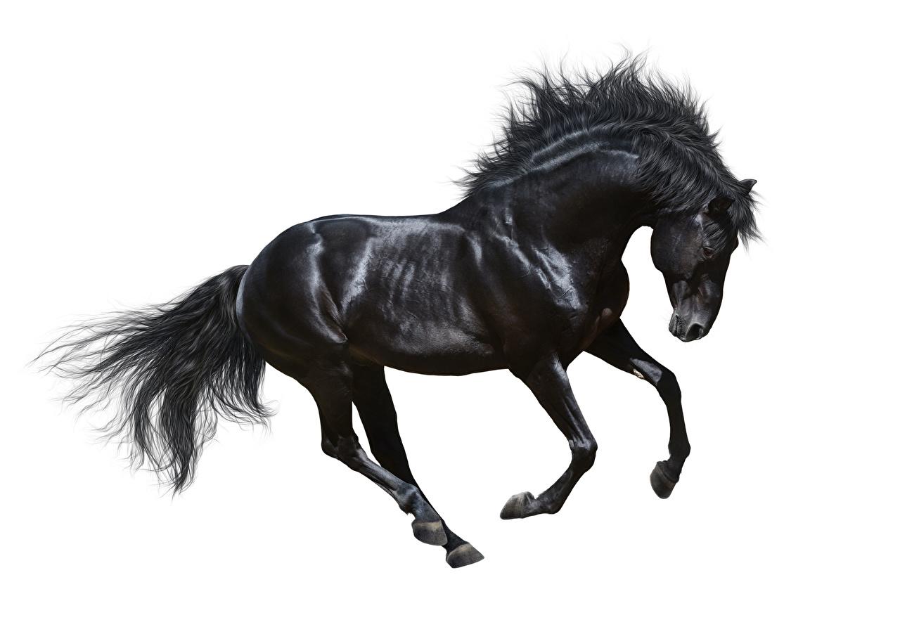 Фотография Лошади Бег черных животное Белый фон лошадь бежит бегущий бегущая Черный черные черная Животные белом фоне белым фоном