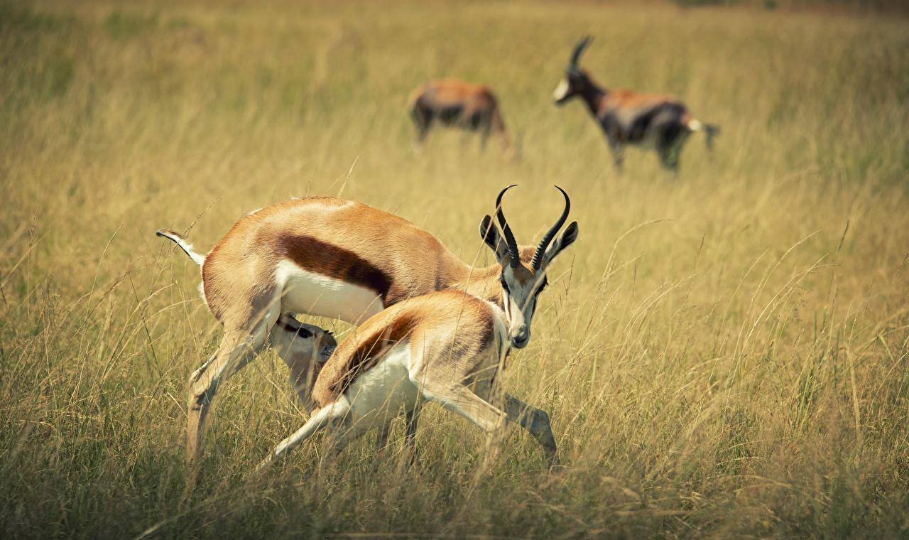 Фотография с рогами боке траве Парнокопытные животное Рога Размытый фон Трава Животные