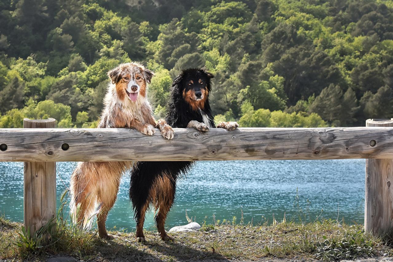 Обои Австралийская овчарка Собаки 2 ограда Взгляд Мокрые Животные Двое вдвоем Забор смотрит