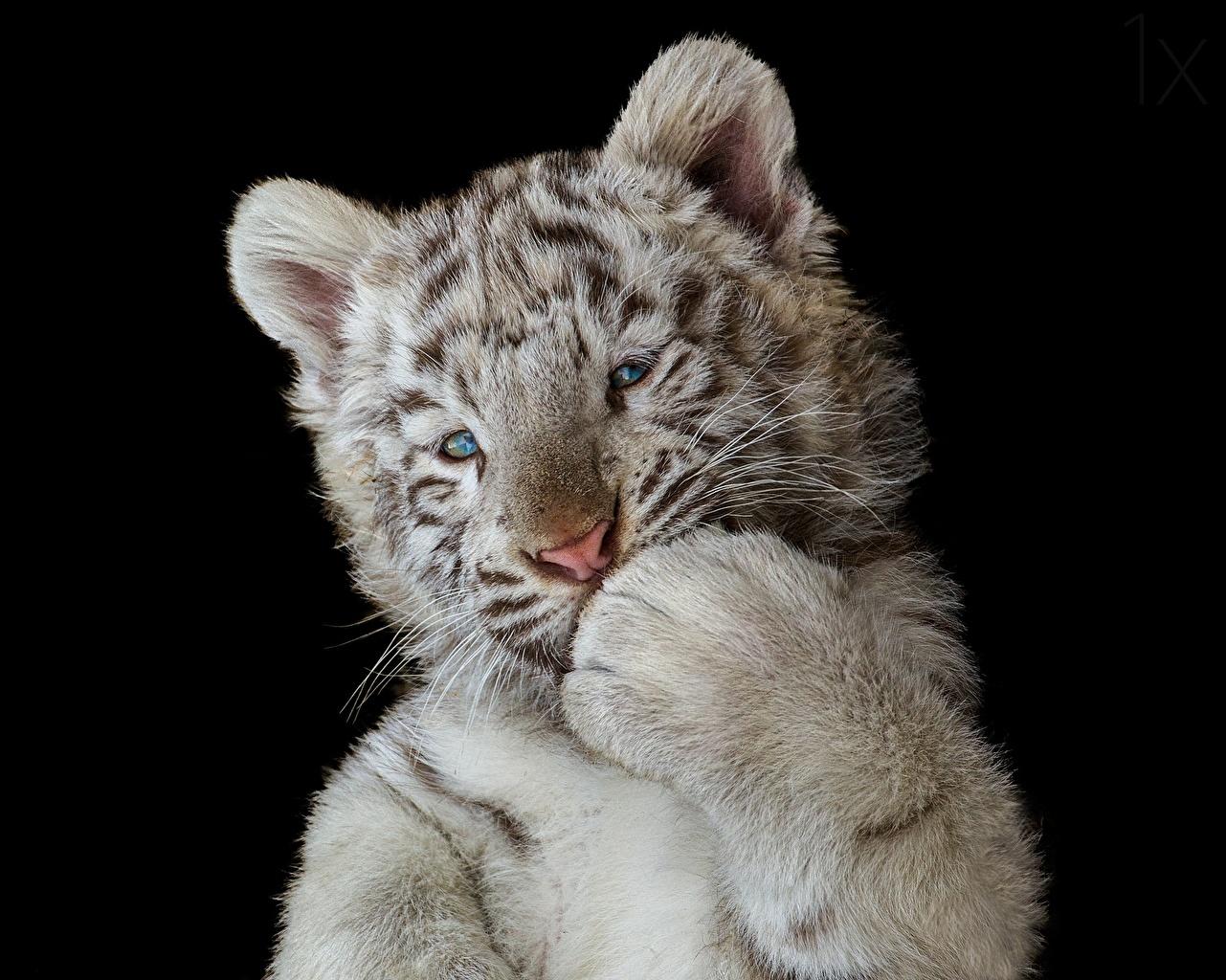 Фотографии Тигры Детеныши Белый Лапы Животные Черный фон