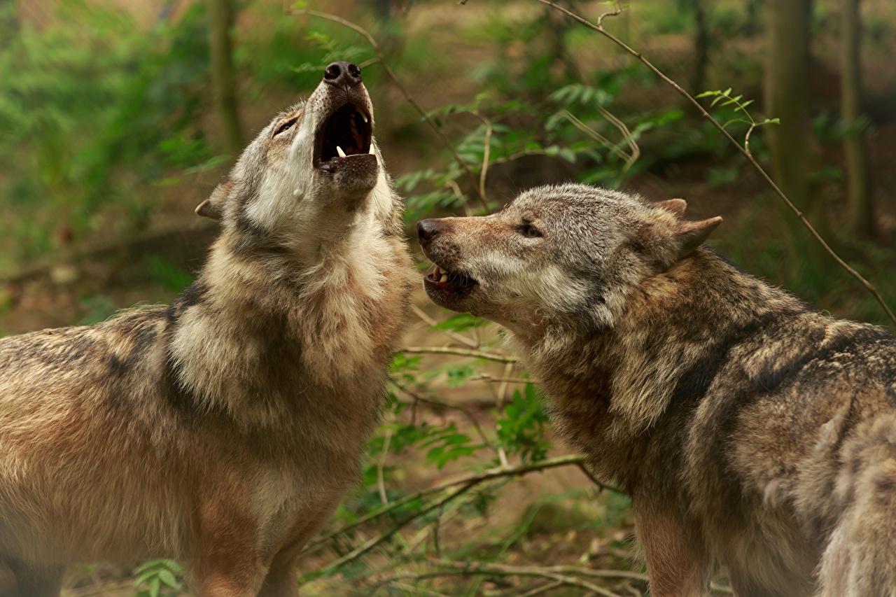 Фотографии волк две животное Волки 2 два Двое вдвоем Животные