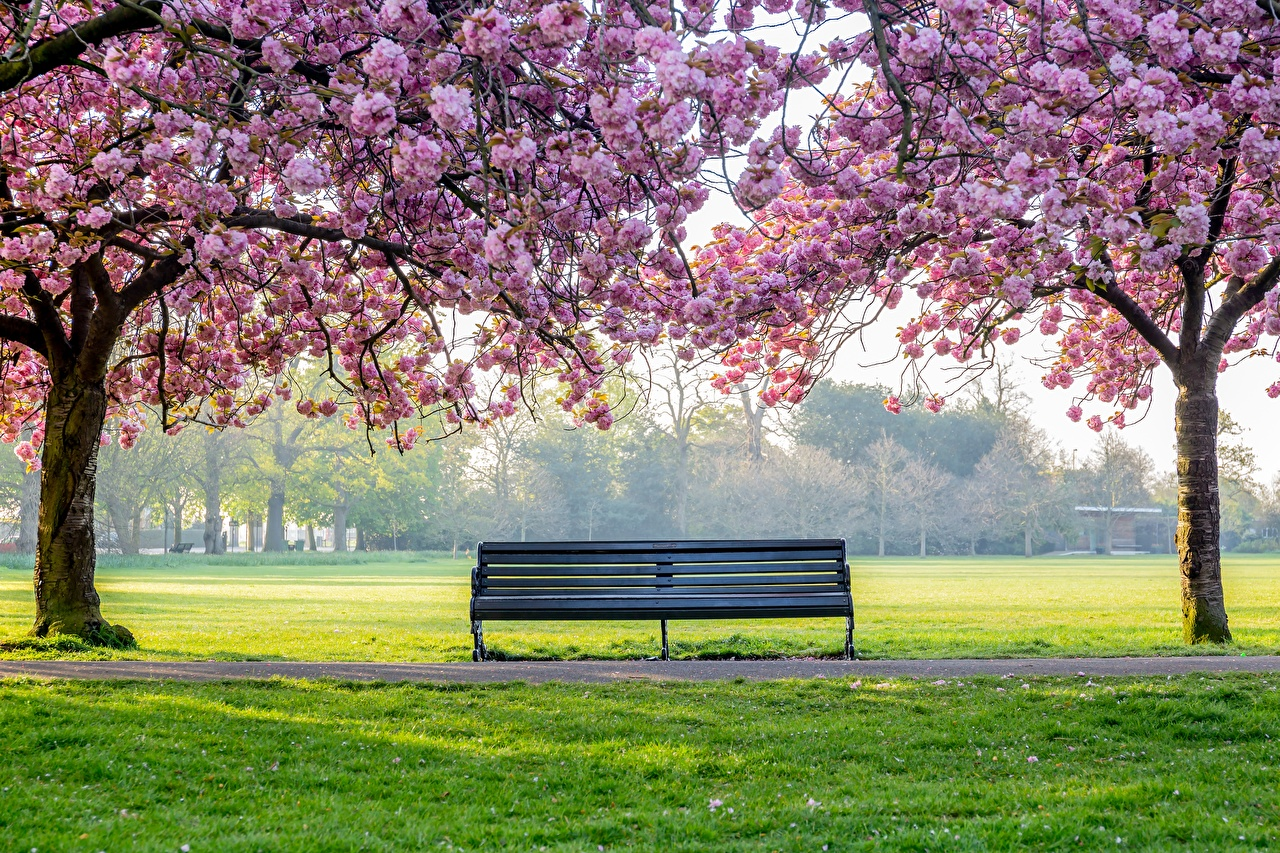 Фото Природа Парки траве Скамейка дерево Цветущие деревья парк Трава Скамья дерева Деревья деревьев