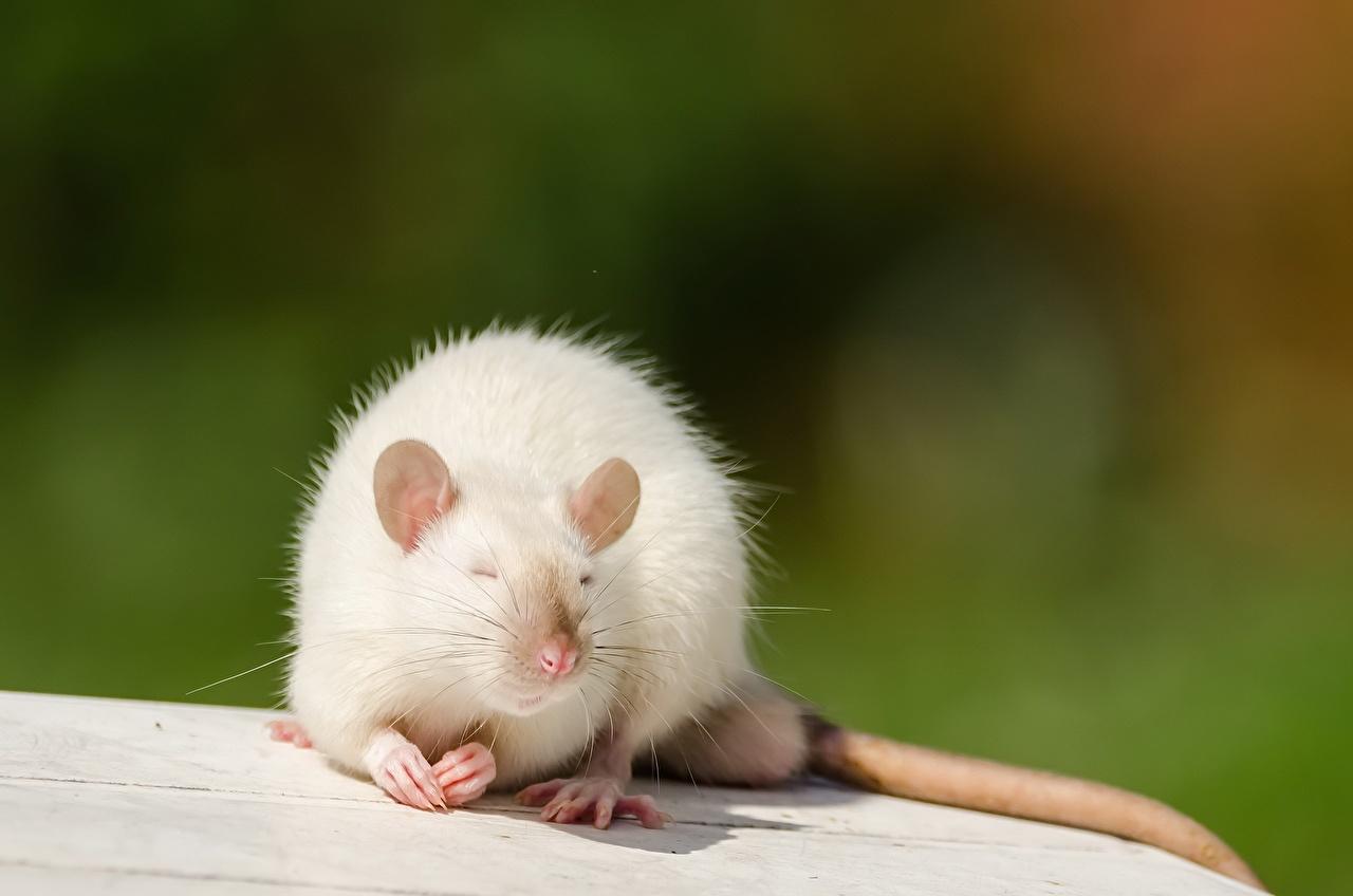 Картинки Крысы Белый Животные