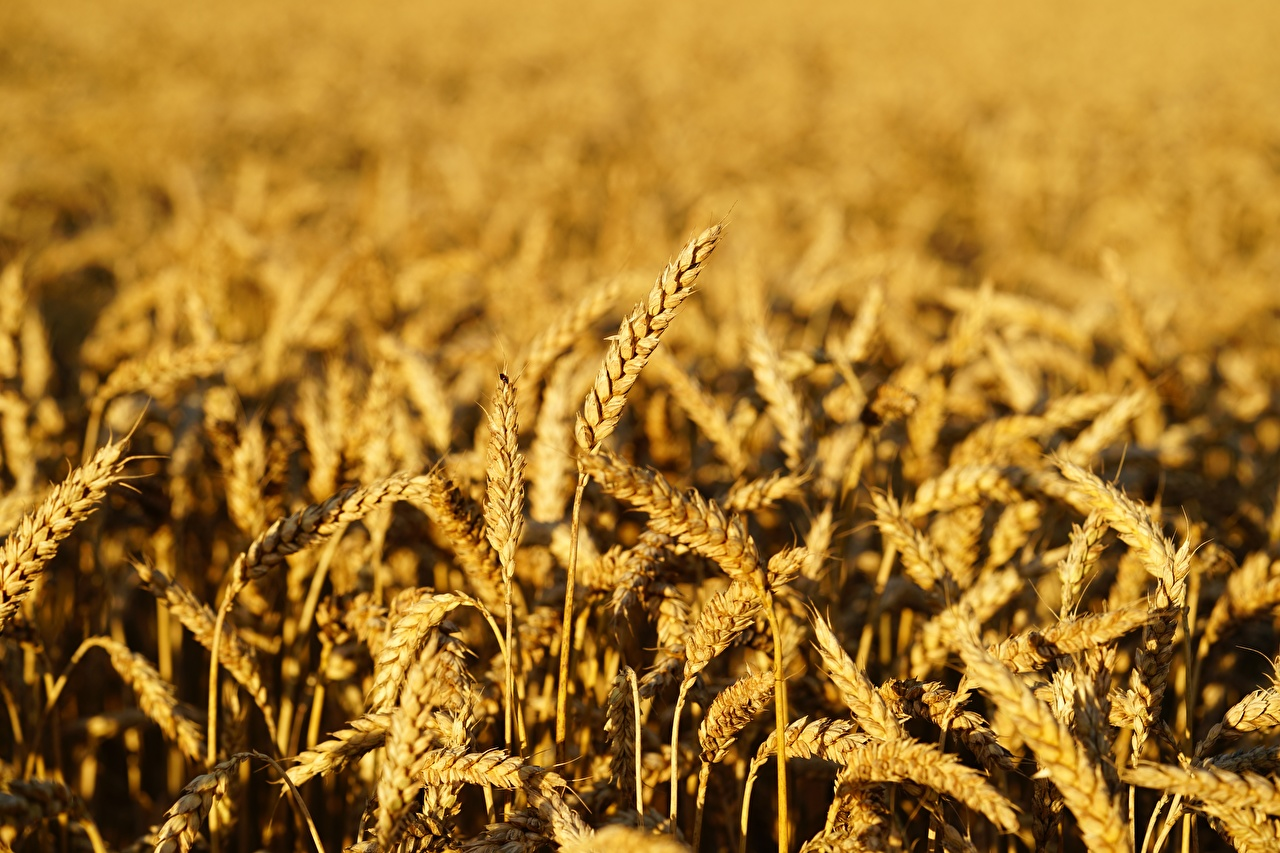 Фотографии Размытый фон Пшеница Природа Поля Колос боке колосок колоски колосья
