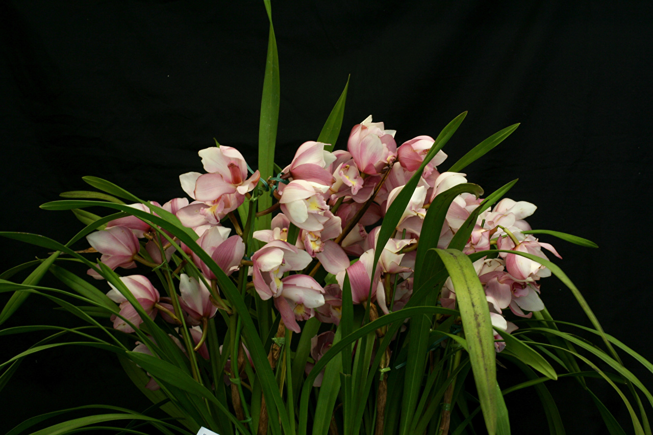 Фотографии орхидея цветок Много на черном фоне Орхидеи Цветы Черный фон