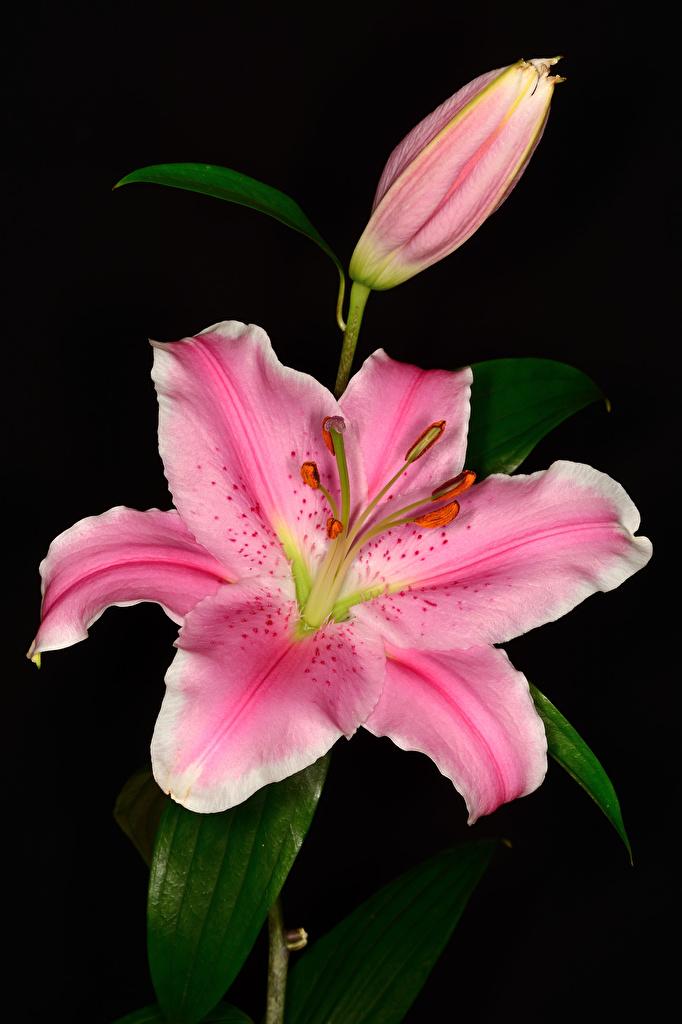Фотографии лилия Розовый Цветы Бутон вблизи Черный фон  для мобильного телефона Лилии розовых розовая розовые цветок на черном фоне Крупным планом
