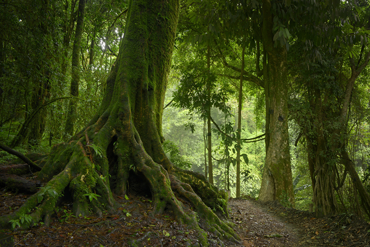Картинки Таиланд Chiangmai Природа лес Тропики Ствол дерева Мох Леса тропический мха мхом
