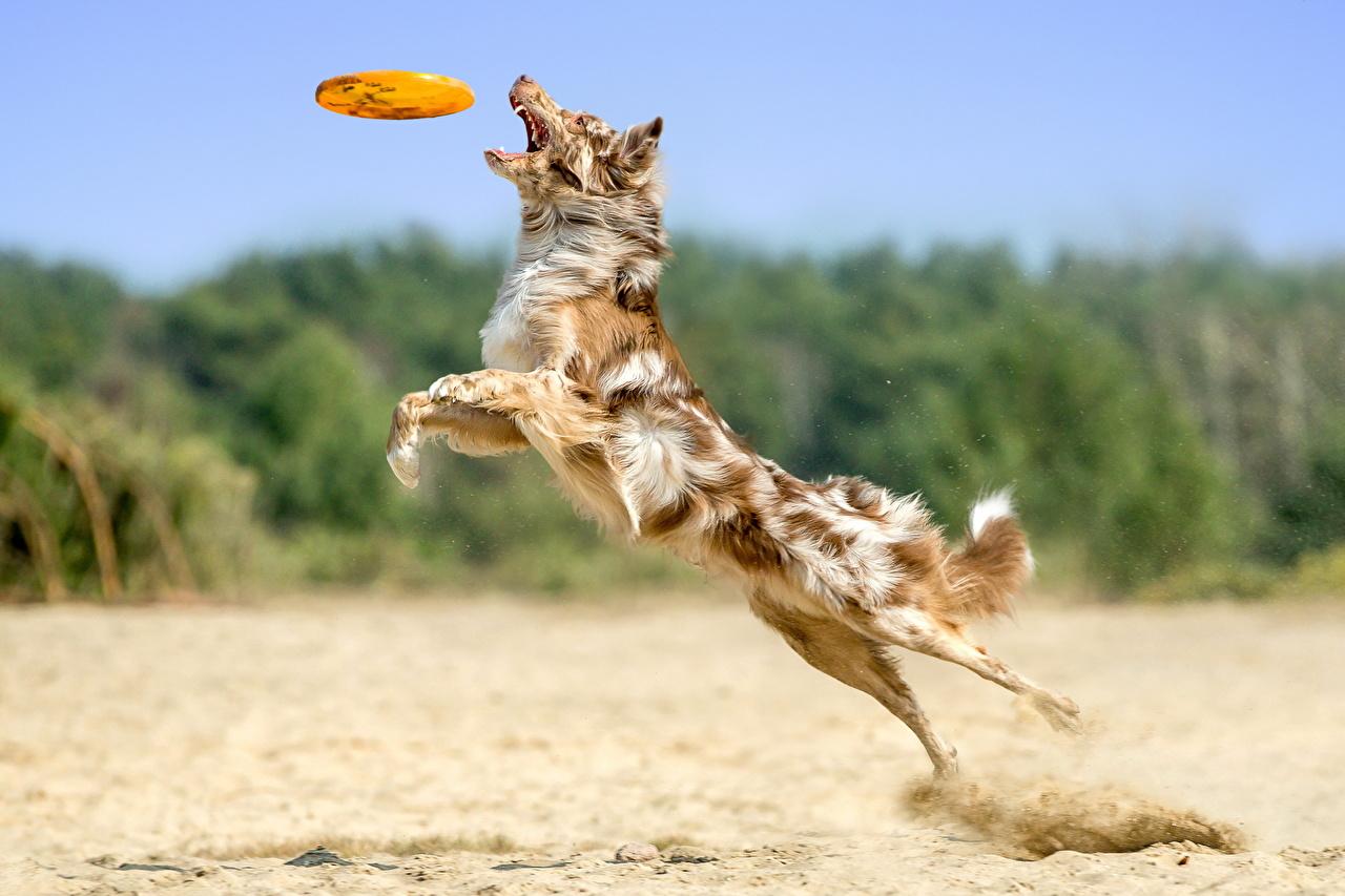 Фото Австралийская овчарка Собаки Пляж Прыжок Животные