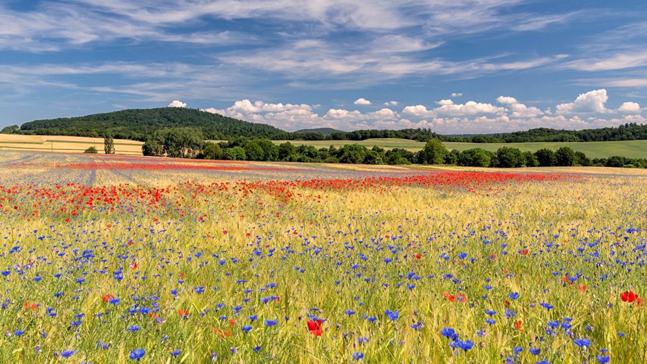 Фотография Германия Eastern Eifel Лето Природа мак Поля цветок Васильки Маки Цветы