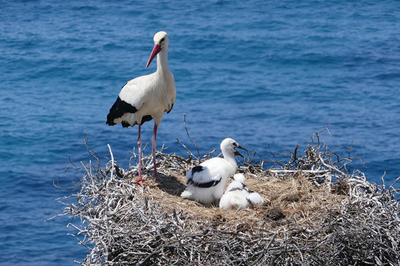 Фотография птица Аисты птенец гнезде животное Птицы Птенцы гнезда Гнездо Животные
