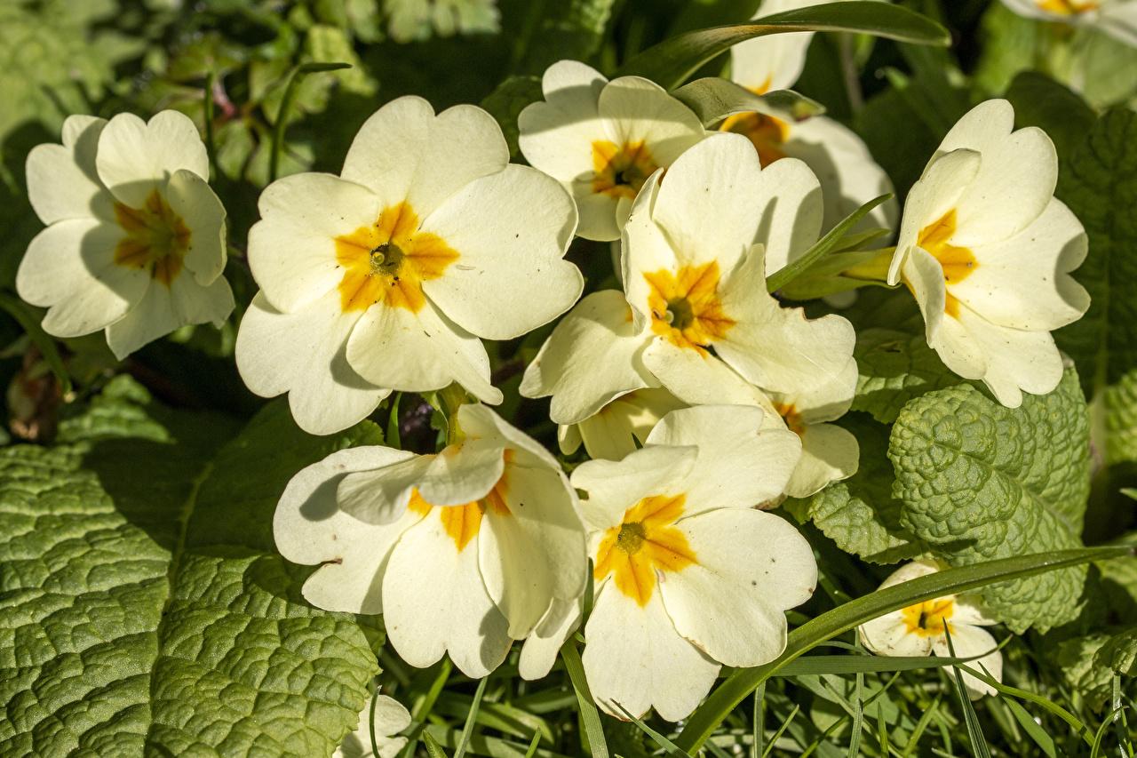 Обои для рабочего стола белых Цветы Первоцвет Крупным планом белая белые Белый цветок Примула вблизи