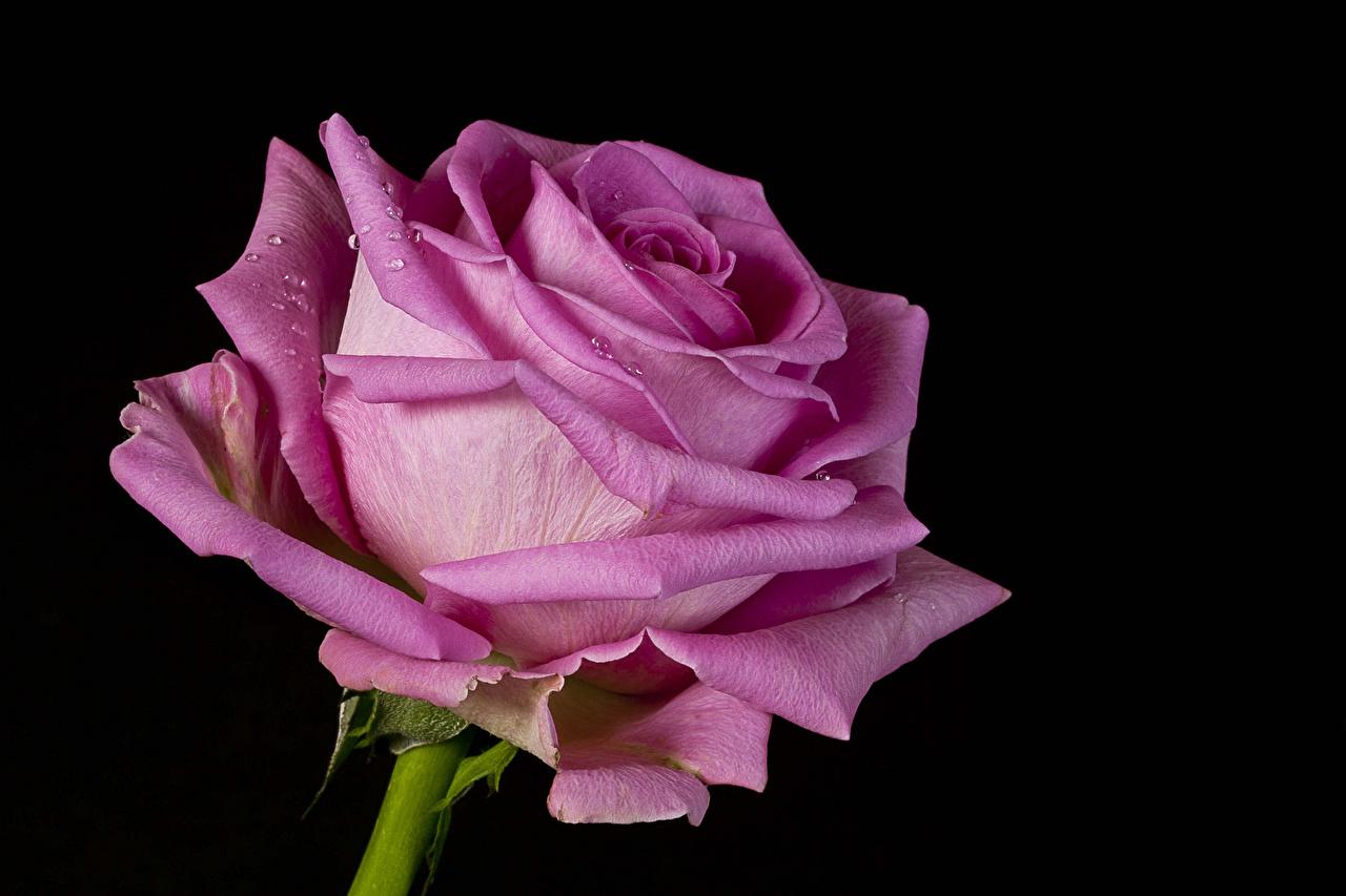 Фотография роза Розовый Цветы Черный фон Крупным планом Розы розовая розовые розовых цветок вблизи на черном фоне