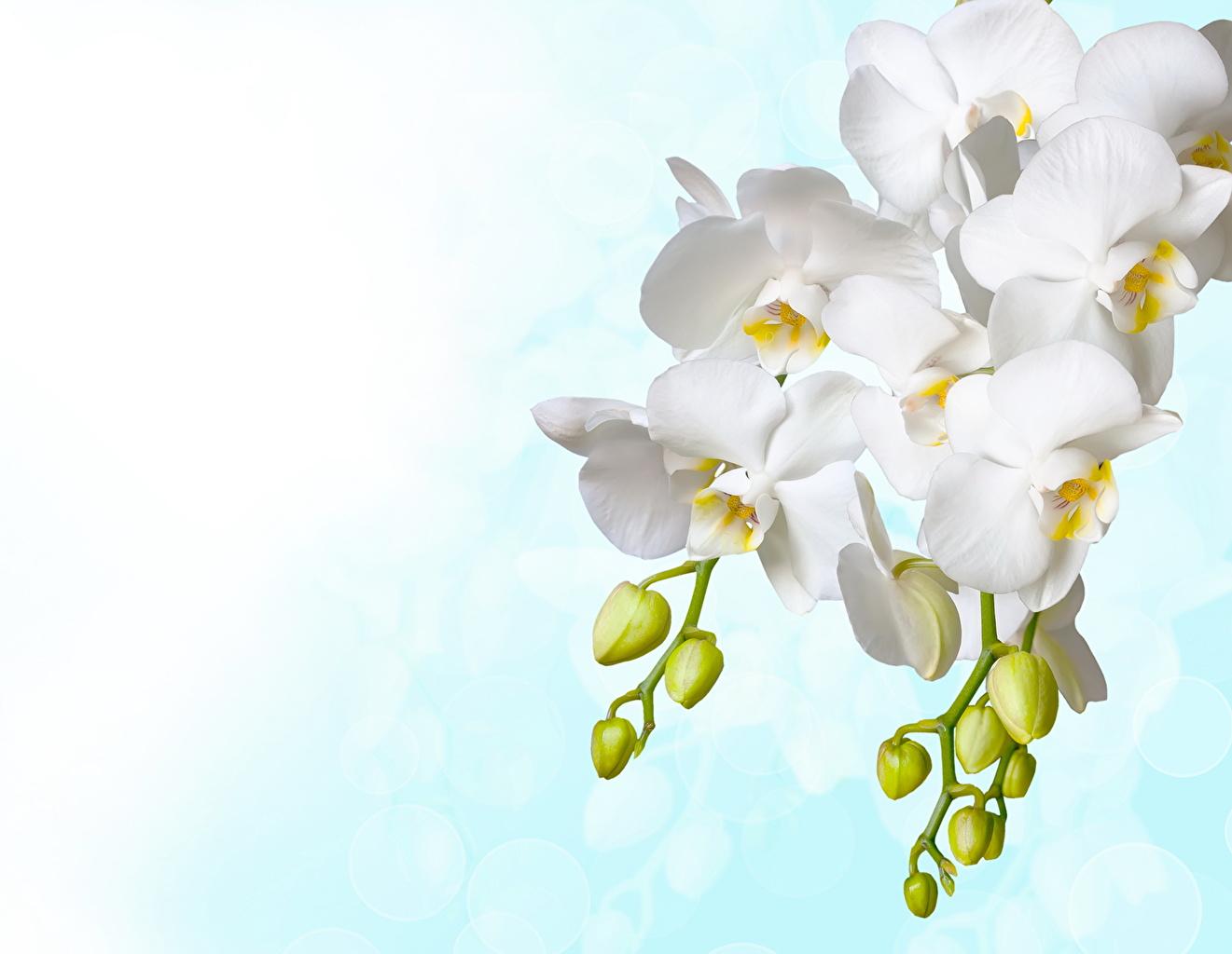 Фотографии белых орхидея цветок Бутон белые белая Белый Орхидеи Цветы