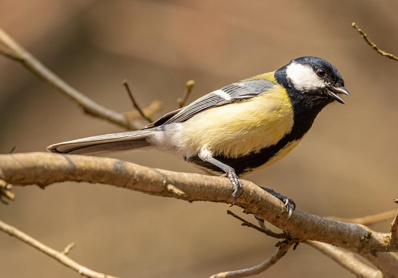 Фотография Птицы Синицы Ветки животное птица синиц синица синицевые ветвь ветка на ветке Животные