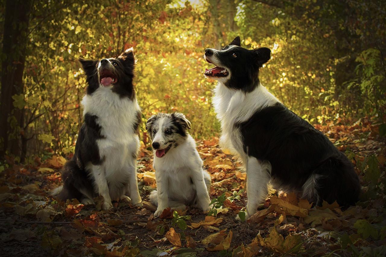 Фотографии Щенок Бордер-колли Собаки втроем Животные Трое 3