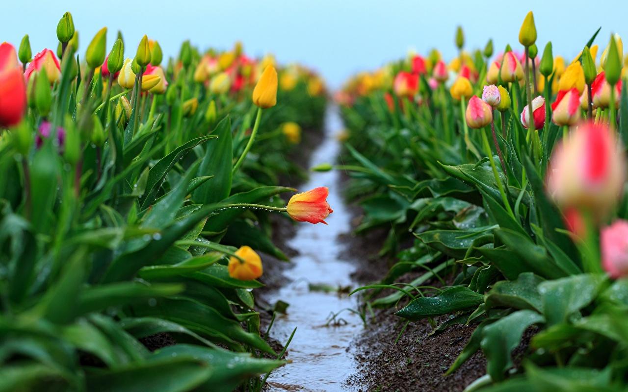 Обои для рабочего стола Тропа тюльпан Поля Цветы тропы тропинка Тюльпаны цветок