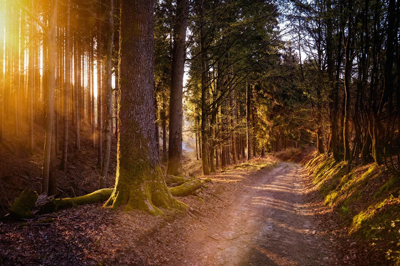 Картинки Природа Леса Дороги мха деревьев лес Мох мхом дерево дерева Деревья