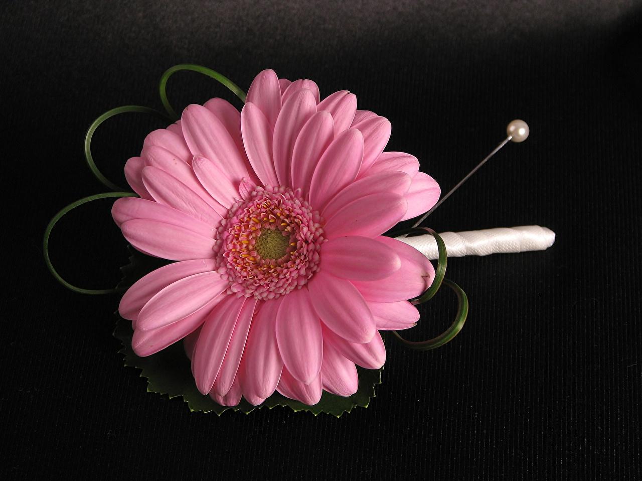 Фотография Розовый Герберы Цветы вблизи Черный фон Крупным планом