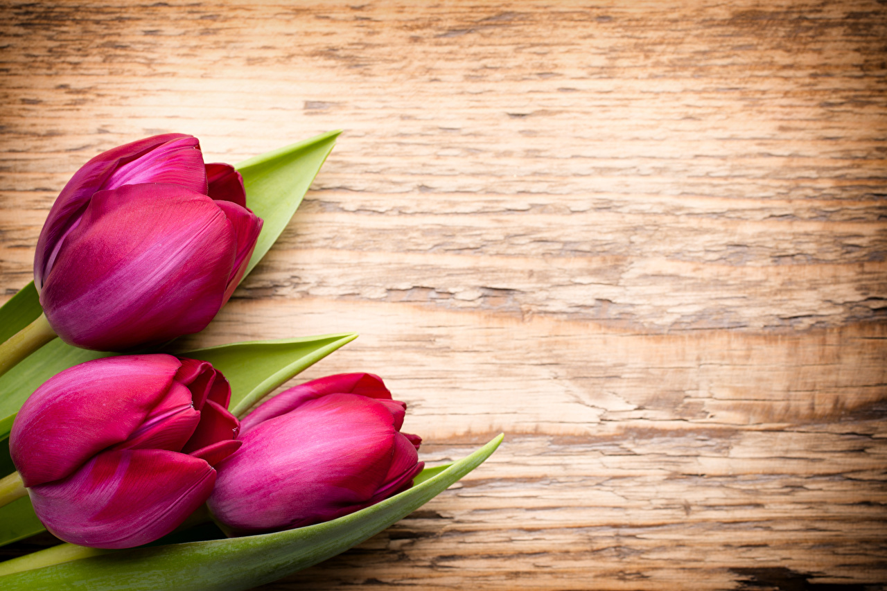 Фотографии Бордовый Тюльпаны Цветы втроем Трое 3