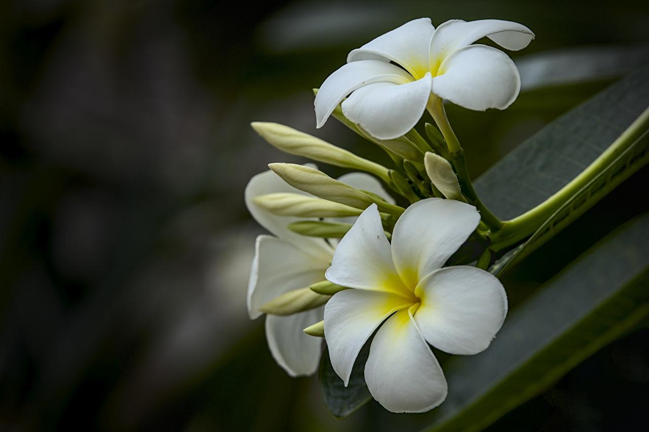 Фото Размытый фон белые цветок Плюмерия вблизи боке белых Белый белая Цветы Крупным планом