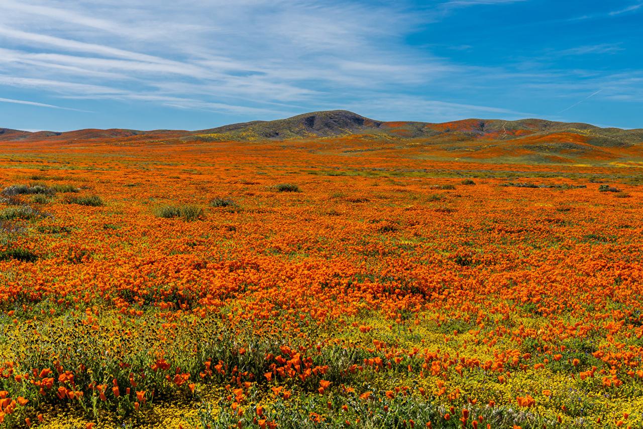 Картинки калифорнии америка Lancaster Природа Поля Маки Холмы цветок Калифорния США штаты мак холм Цветы холмов