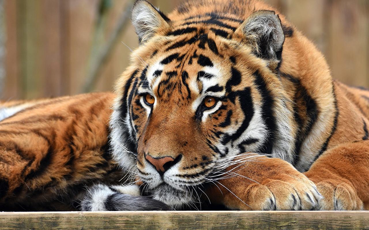 Фото Тигры Лапы Морда смотрит Животные Взгляд