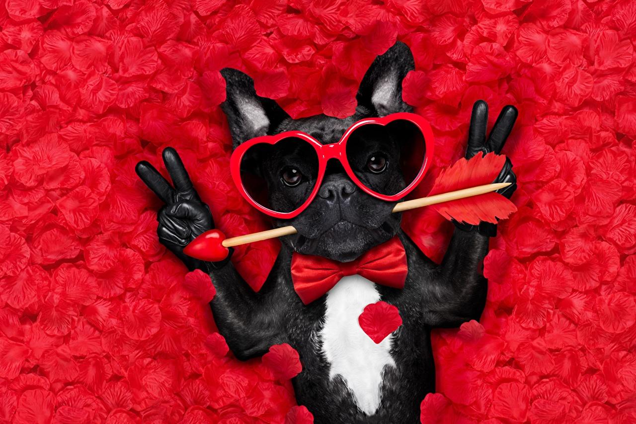 Картинка Французский бульдог День святого Валентина Собаки Сердце Перчатки Смешные Лепестки Очки Галстук-бабочка Животные
